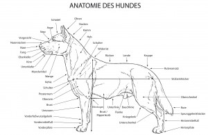 Anatomie des Border Collie